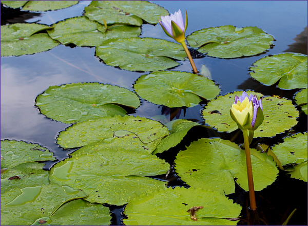 Beauty of the lotus blooms in a temple pond